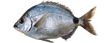 White sea bream