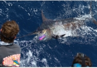 img-4288-Blue-Marlin-Fishing-in-Mindelo-Sao-Vicente-Cabo-Verde.jpg