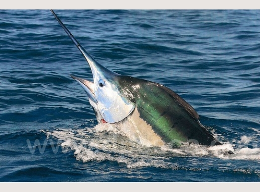fishing-big-marlin.jpg