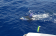 blue-marlin-fishing-madeira.png